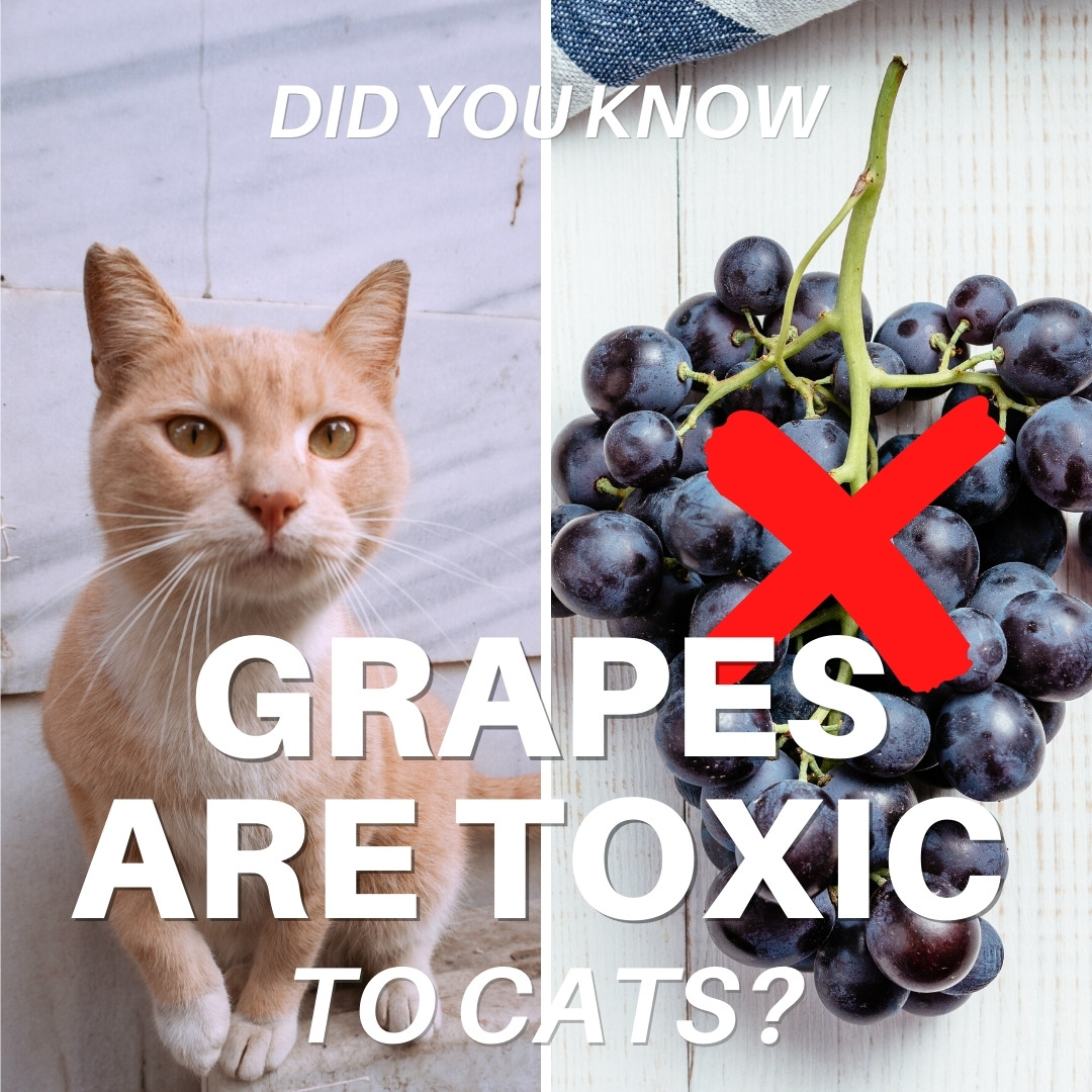 Grape Toxicity in Cats