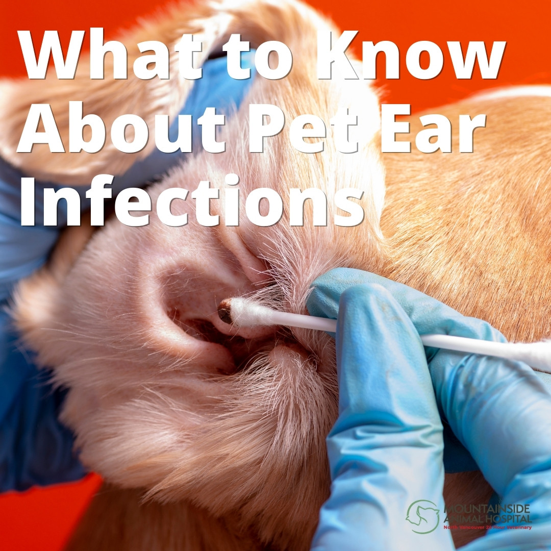 What to Know About Pet Ear Infections